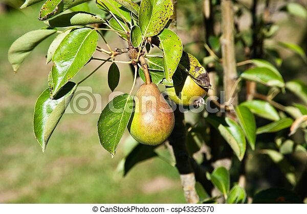 Pear - csp43325570