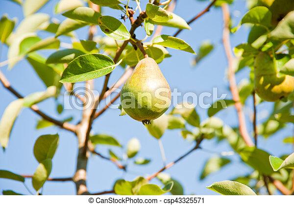 Pear - csp43325571