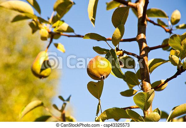 Pear - csp43325573