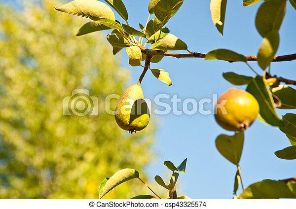 Pear - csp43325574