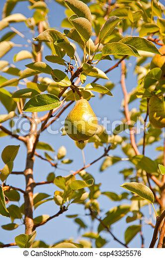 Pear - csp43325576