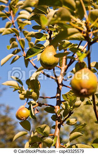 Pear - csp43325579