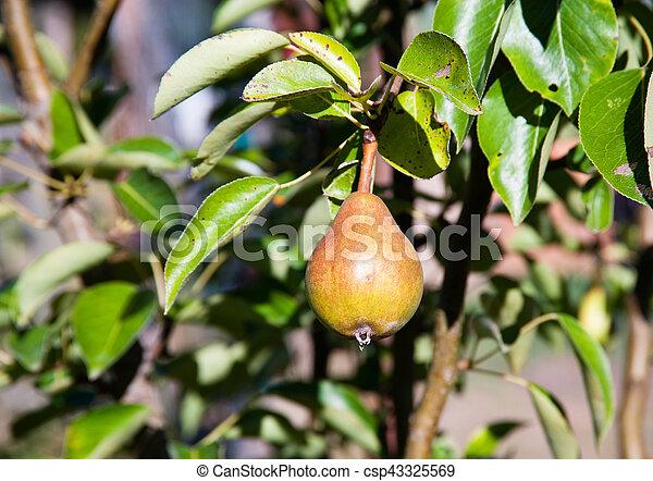 Pear - csp43325569