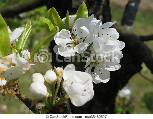 Pear tree branches with blossoms - csp35480627