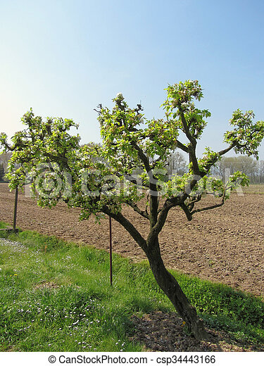 Pear tree with blossoms in a sunny day - csp34443166