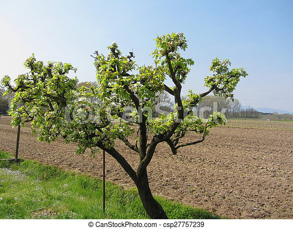Pear tree with blossoms in a sunny day - csp27757239