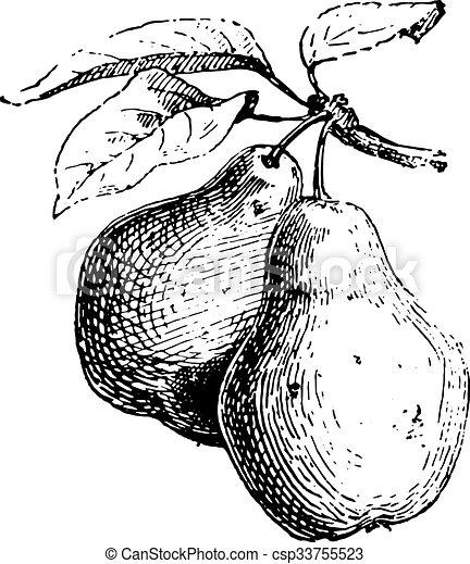 Pear, vintage engraving. - csp33755523