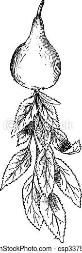 Pear, vintage engraving. - csp33758523
