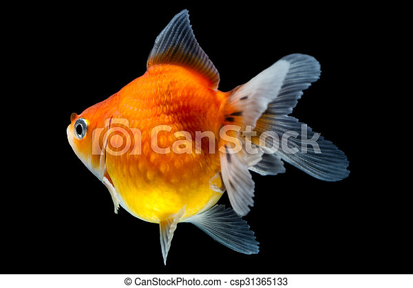 Pearlscale Goldfish Profile - csp31365133