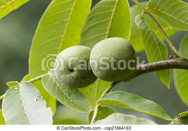 pears on the tree - csp21664163