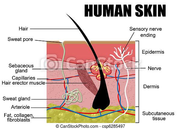 peau humaine - csp6285497