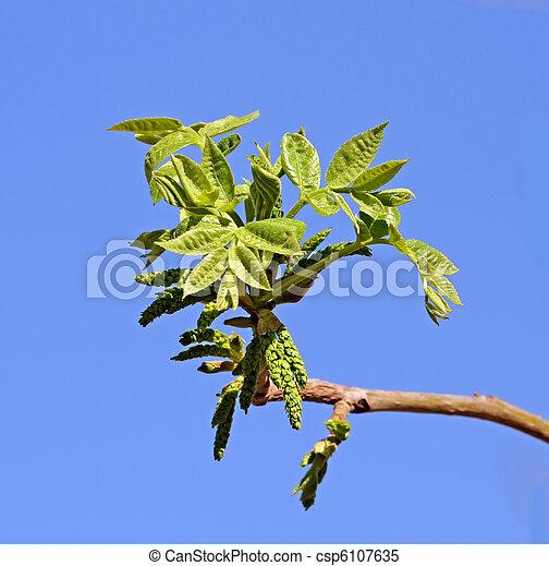 Pecan tree in spring flower buds pecan tree branch showing fresh pecan tree in spring flower buds csp6107635 mightylinksfo