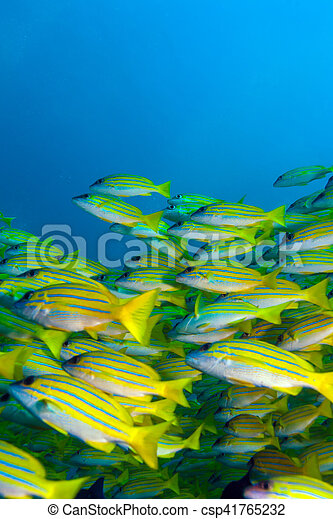 Escuela de peces amarillos, maldivas - csp41765232