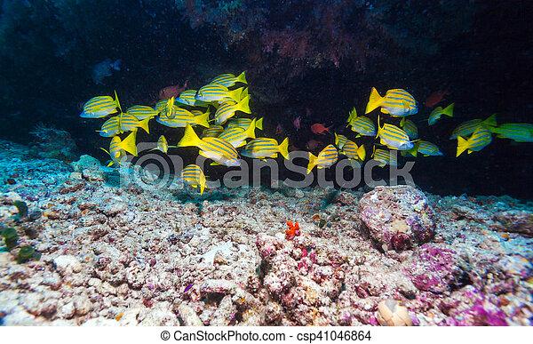 Escuela de peces amarillos, maldivas - csp41046864