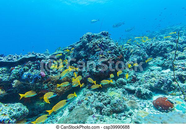 Escuela de peces amarillos, maldivas - csp39990688