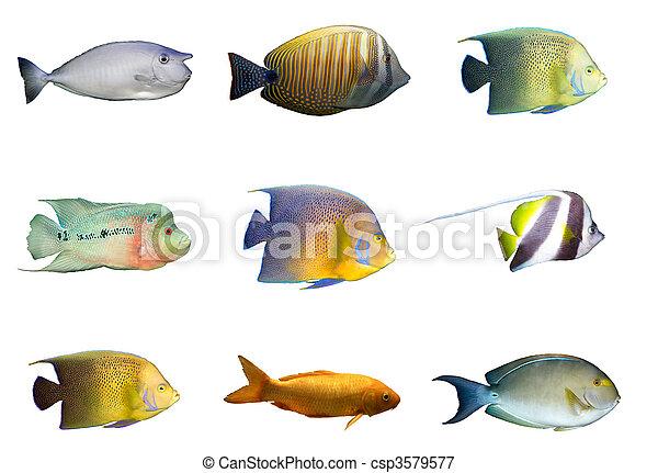 Selección de peces coral tropicales aislados - csp3579577