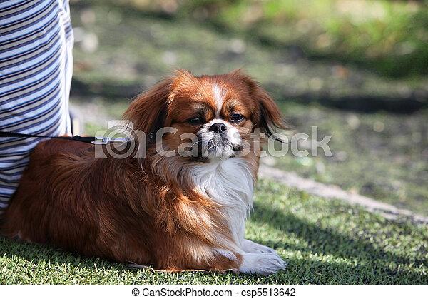 Suo cane rosso proprietario casa pechinese foto d for Piani casa cane trotto