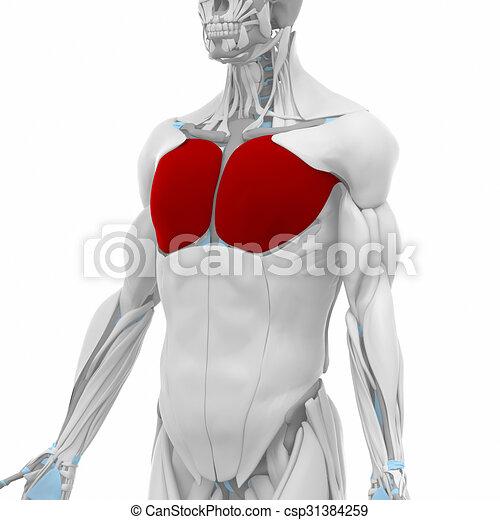 Pectoralis major - muscles anatomy map.