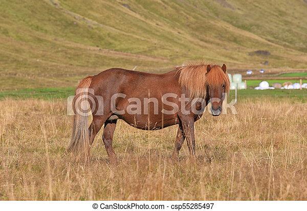 Pedigree Icelandic horse grazing in the field - csp55285497