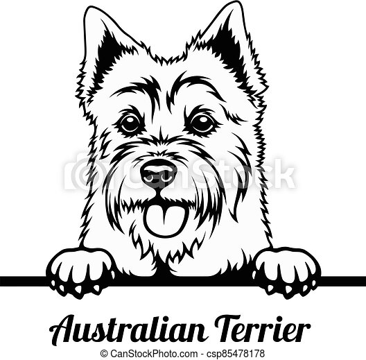 Peeking Dog - Australian Terrier breed - head isolated on white - csp85478178