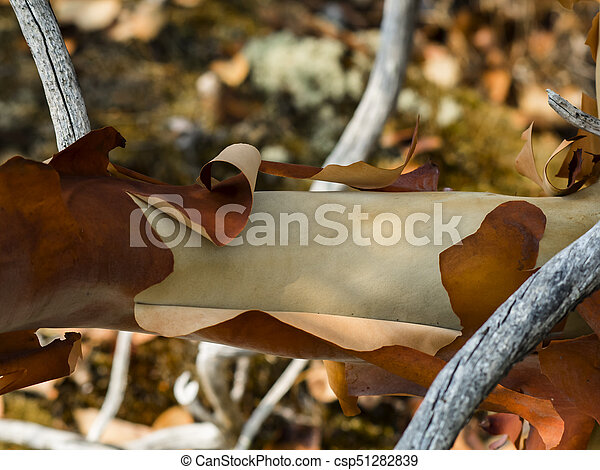 Peeling Arbutus Bark - csp51282839