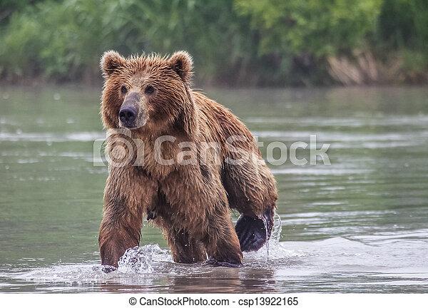 peixes, urso marrom - csp13922165
