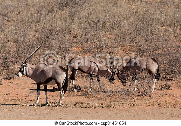 Pelea entre dos Gemsbok macho, Gacela Oryx - csp31451654