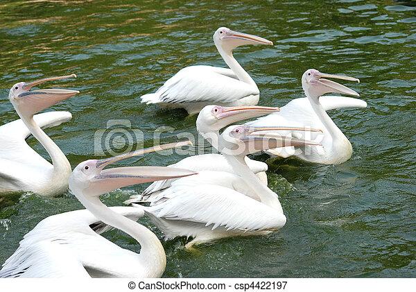 pelican birds swim in lake - csp4422197