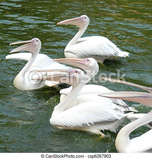 pelican birds swim in lake - csp6267903