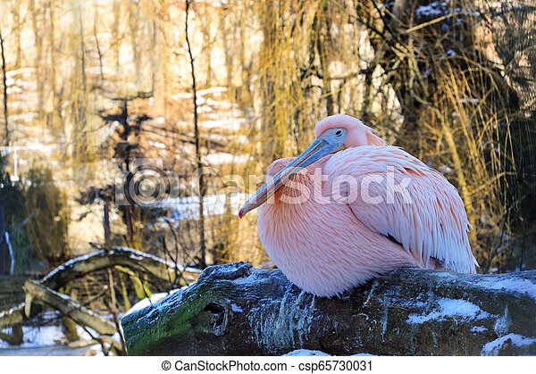 Pelican in winter on the tree - csp65730031