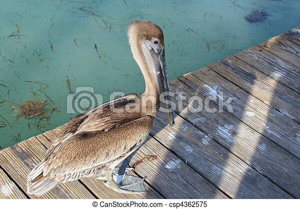 Pelican on a wooden deck - csp4362575