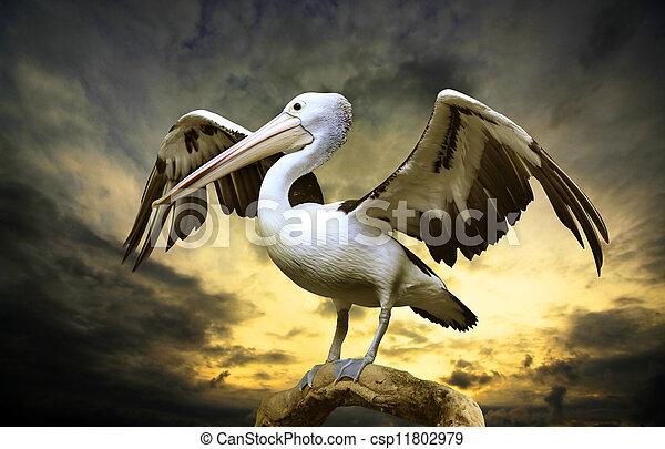 Pelican - csp11802979
