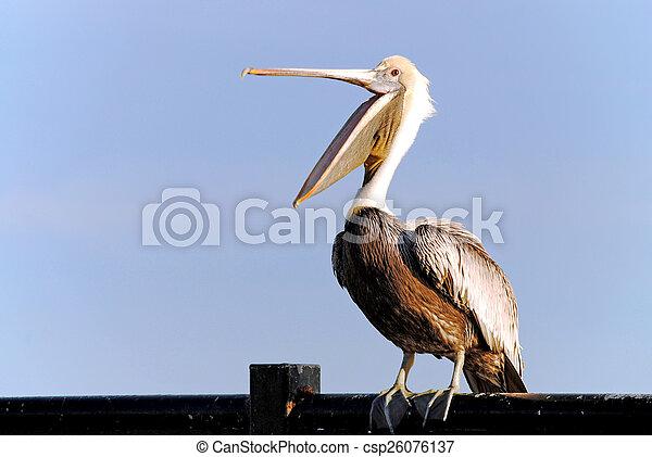 Pelican - csp26076137