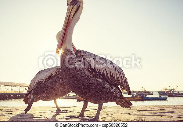 pelicano - csp50320552
