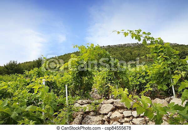 Peljesac vineyard - csp84555678