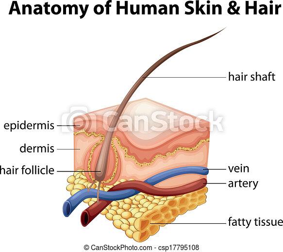 Pelo, anatomía, piel humana. Pelo, anatomía, humano, ilustración, piel.