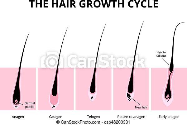 Pelo, estructura. Pelo, anatomía, crecimiento, diagrama, humano, fase.