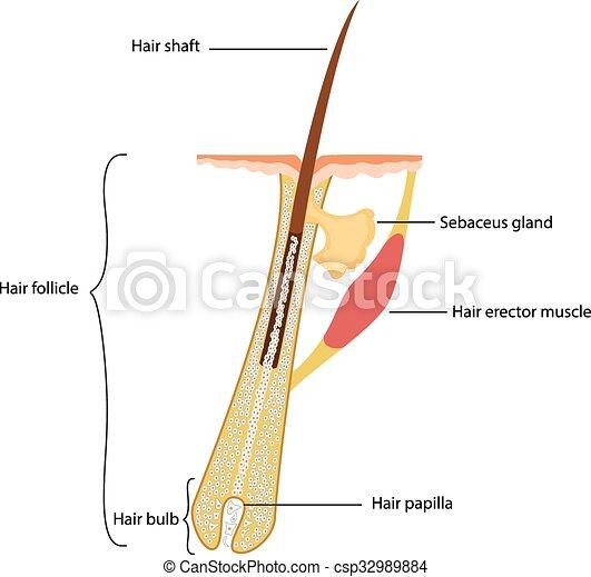 La estructura del cabello humano - csp32989884
