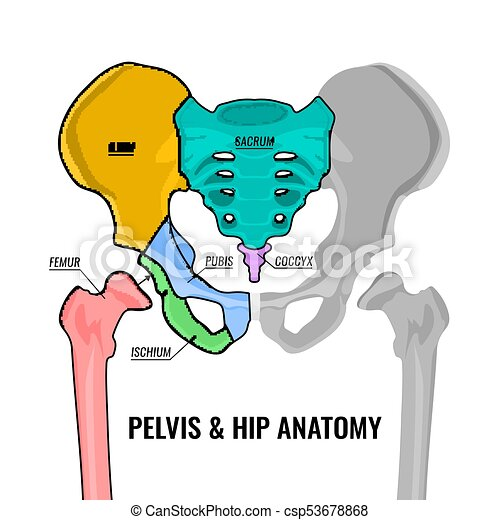 Pelvis Anatomy Scheme Human Male Anatomy Scheme Main Pelvis Bones
