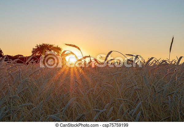 pendant, blé, coucher soleil, oreilles, champ - csp75759199