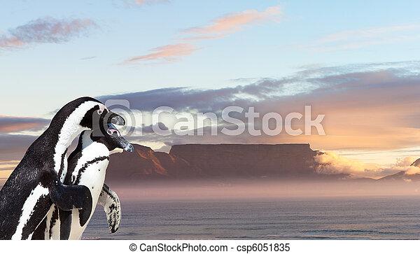 Penguins in Cape Town - csp6051835
