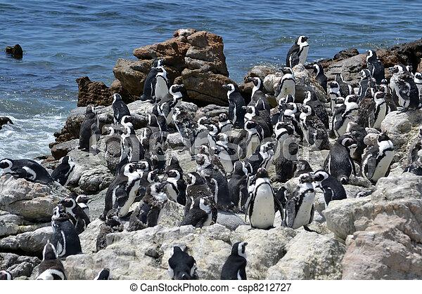 penguins on the coast - csp8212727