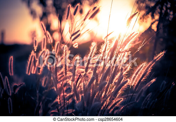 Pennisetum flower in late afternoon sunlight - csp28654604