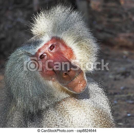 pensativamente, poses, espectadores, babuíno, prateado - csp8824644