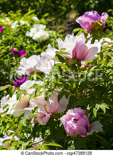 Peonies flowers peonies flowering bush of pink tree peony flowers peonies flowering bush of pink tree peony csp47388128 mightylinksfo