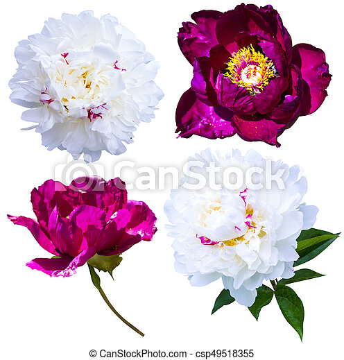 Peonies isolated on white background peonies flowers red stock peonies isolated on white background peonies flowers red and white peonies csp49518355 mightylinksfo