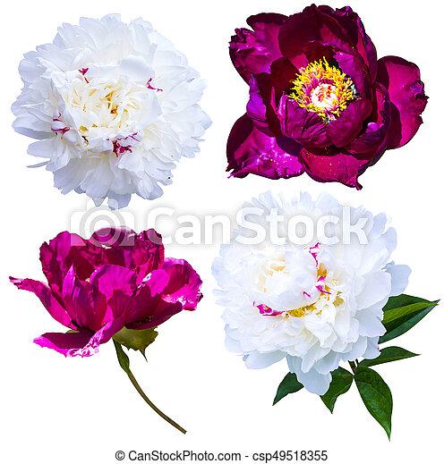 Peonies isolated on white background peonies flowers red and white peonies isolated on white background peonies flowers red and white peonies csp49518355 mightylinksfo