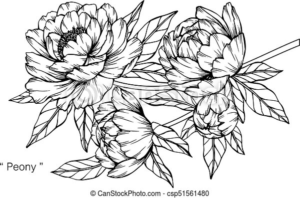 Peony flower drawing and sketch with black and white line art mightylinksfo