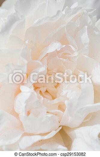 Peony flower  - csp29153082