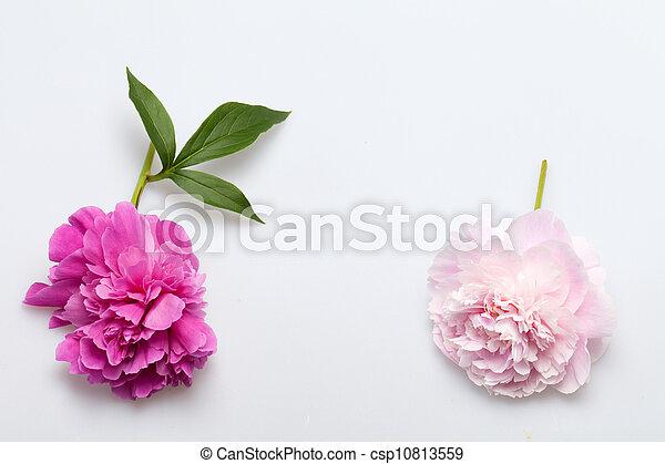 peony flower - csp10813559